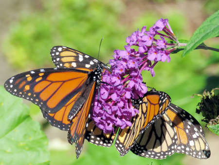 Three Monarchs on a flower in High Park of Toronto, Canada, Sep 28, 2018