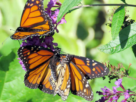 The three Monarchs on a flower in High Park of Toronto, Canada, Sep 28, 2018 Stock fotó
