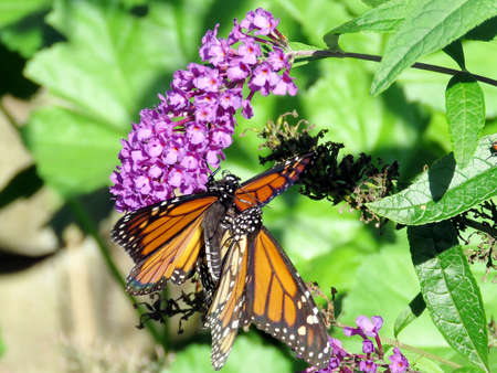 The two Monarch butterflies on a flower in High Park of Toronto, Canada, Sep 28, 2018