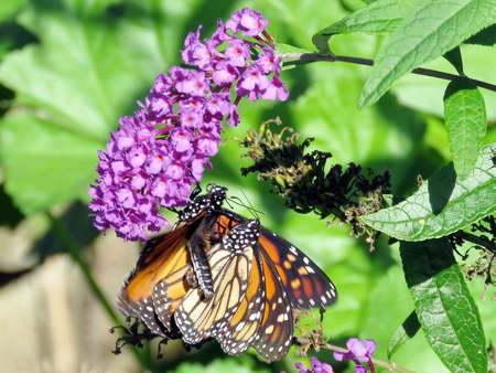 The two Monarch butterflies on a buddleja flower in High Park of Toronto, Canada, Sep 28, 2018