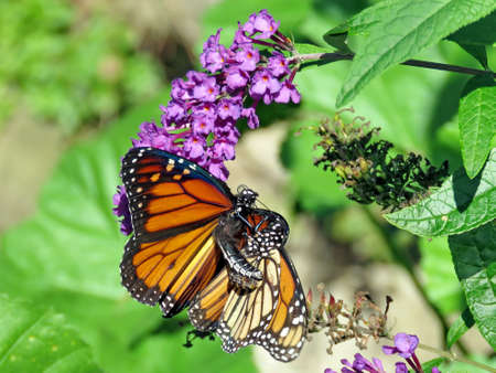 The two Monarchs on a flower in High Park of Toronto, Canada, Sep 28, 2018