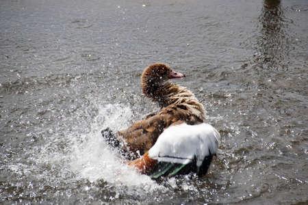 water fowl: Long Legged Duck in the water