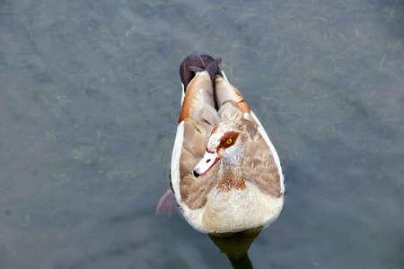 water fowl: Mallard duck Stock Photo