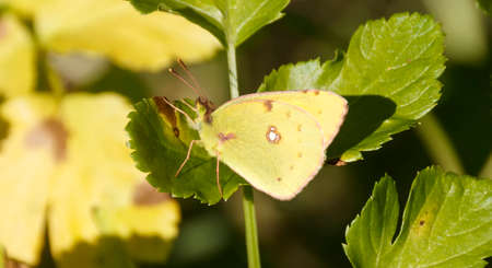 Lemon Emigrant butterfly in nature