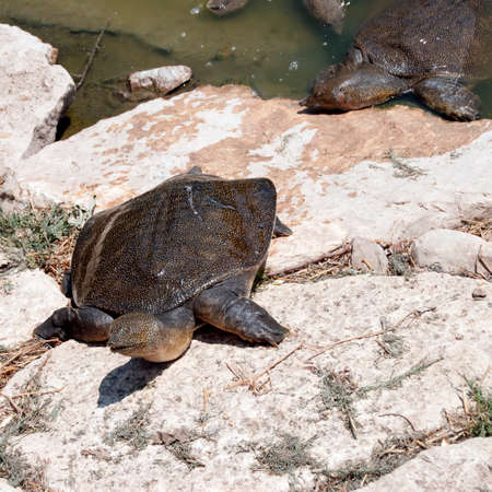 Wattle necked softshell turtle on the rocks Reklamní fotografie