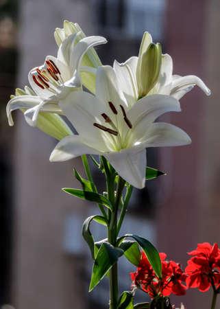 Madonna Lilly flower