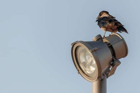 Urban crow on the street lamp