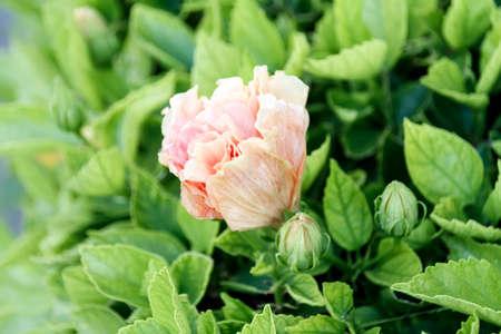 크림색의 중국 장미, 꽃 봉오리가있는 히비스커스 라