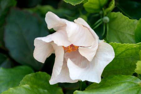 크림 색의 중국 장미 꽃 봉오리