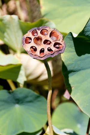 Single seedvessel of lotus close-up Stock Photo