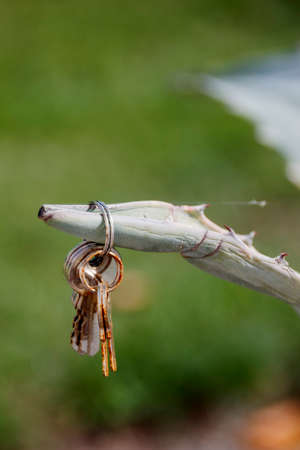 A bunch of rusty keys hang on a branch of a cactus