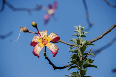 Floss Silk tree flower and buds