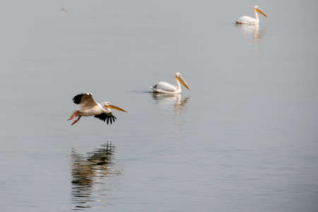 the pelican is watered. migration time Stock Photo