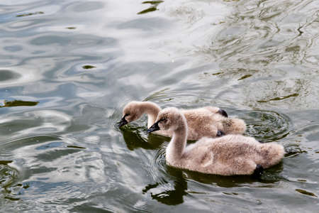 Two young black swans swim in the pond
