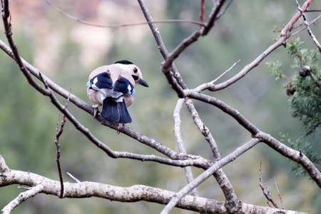 Blue jay sits on a dry branch
