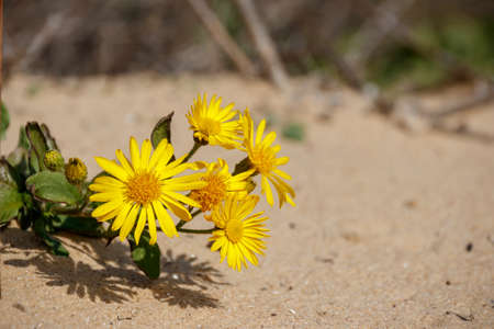 bright yellow flowers growing on the sand Stock Photo