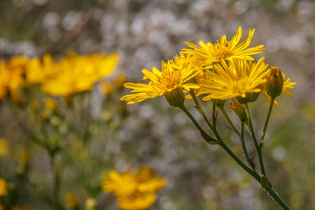 Yellow flowers of Black-bracted Hawkweed close up