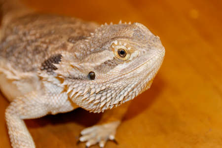 Head of Bearded Dragon Lizard Stock Photo