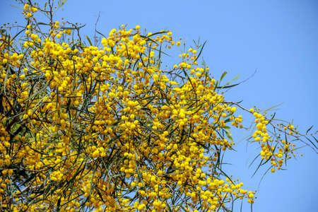 L'albero giallo della mimosa fiorisce il primo piano contro un cielo blu Archivio Fotografico