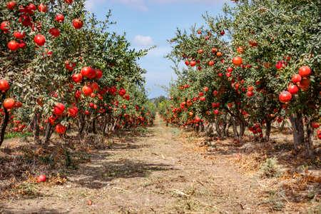 Rijpe granaatappelfruit aan de takken van bomen