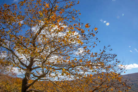 Plane tree with red and brown autumn leaves against a background of gree hulls, mountains and sea and sky. greece