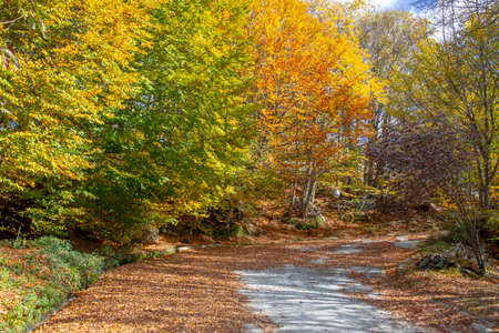 Country road strewn with dry fallen leaves passing between the trees with yellow, red and green fall foliage. Greece