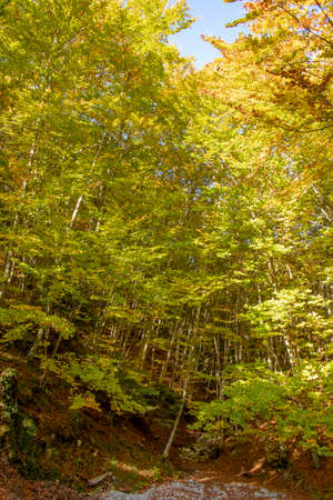 Glade covered with dry leaves between the trees in the golden autumn foliage. Litochoro. Greece 스톡 콘텐츠