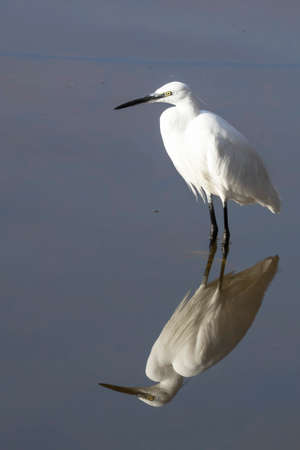 Close-up of the reflection in the water of a standing little egret