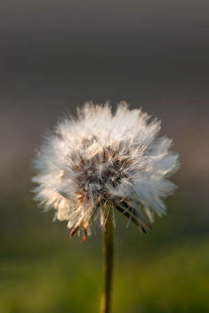 Dandelion flower head with white seeds close-up in the backlight of the suns rays on a blurred background