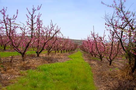 Peach orchards bloom with pink flowers. Galilee Mountains. Israel. Landscape 写真素材