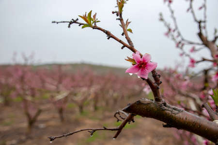 Peach pink flowers with rain drops on the petals close-up on a blurred background. Galilee Mountains. Israel. 写真素材