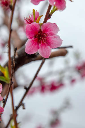 Peach pink flowers with rain drops on the petals close-up on a blurred background. Galilee Mountains. Israel 写真素材