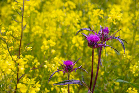 Bright purple flowers of burdock on the background of a field of yellow flowers closeup 写真素材