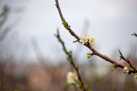 Buds and white flowers of a pear tree with raindrops on petals close-up on a blurred background. Galilee Mountains. Israel
