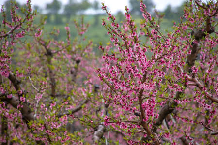 Branches of peach trees with pink flowers with raindrops on them. Landscape. Galilee Mountains. Israel