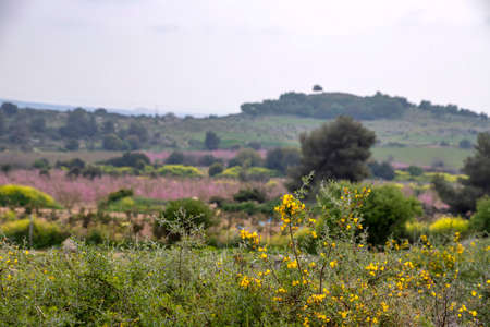 View of a hill covered with blooming fruit gardens with yellow flowers in the foreground. Landscape 写真素材