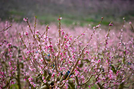 Branches of peach trees with pink flowers close up on a blurred background