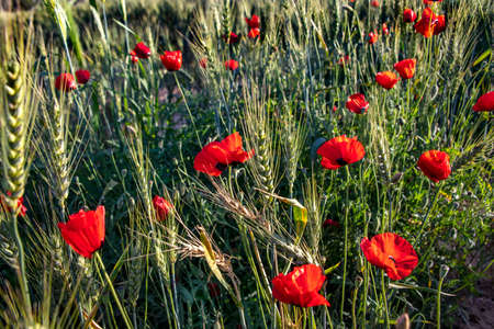 Red poppies flowers in the sunlight among wheat ears close up