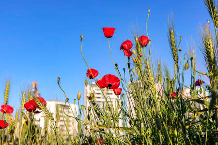 View of buildings through the flowers of red poppies and wheat ears close up