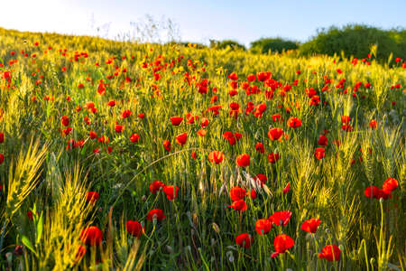 Red poppies flowers in the sunlight among wheat ears in sunset