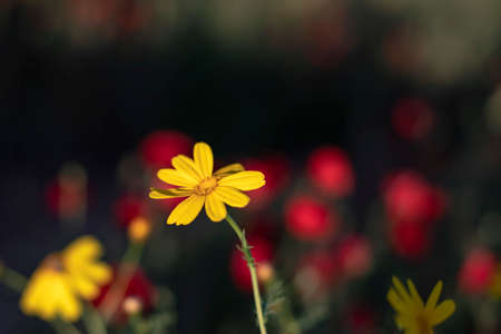 The head of a yellow flower close-up on a blurred background of a field of red poppies in the sunlight