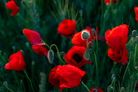 Red poppies, buds and flowers in the sun on a background of green vegetation 写真素材