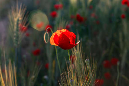 Red buds of poppies and a flower close up in the sunlight backlit among the ears of wheat at sunset