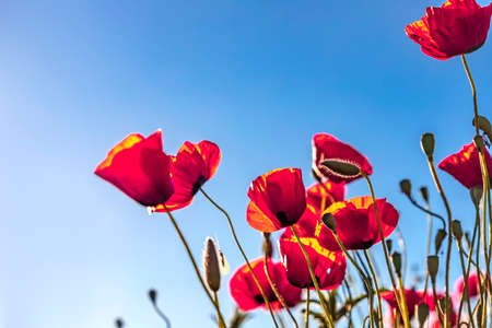 Red poppies buds and flowers close up in the sunlight against blue sky