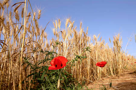 Flowers of red poppies among ripe yellow wheat ears. Landscape