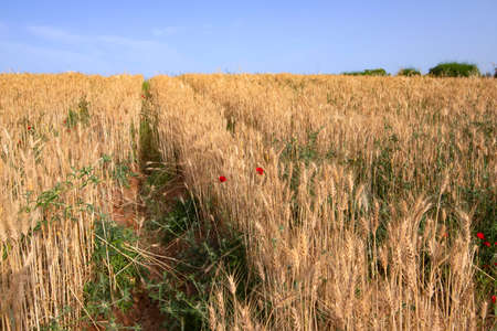Field of rows of golden ripe wheat with red poppies flowers. Landscape