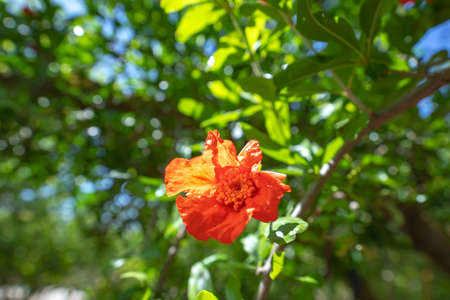 Red pomegranate flower close-up on a blurred background of green foliage