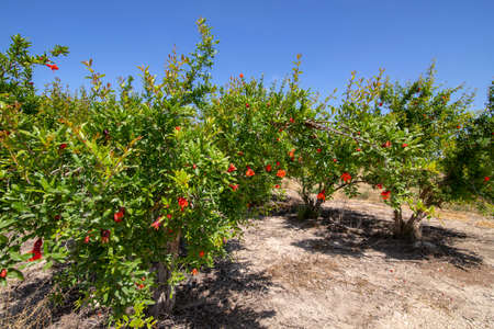 Rows of flowering pomegranate trees with red flowers against a blue sky. Landscape 写真素材
