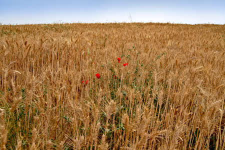 A field of golden ripe wheat with red flowers and green weeds between the ears. Landscape
