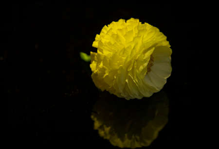 Buttercup flower head with reflection closeup isolated on black background